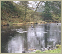 A Heron in flight across the Wharfedale River in the Yorkshire Dales National Park